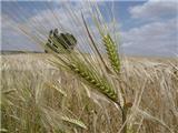 Avance de resultados de los ensayos de cereales de la campaña 2015